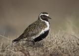 Golden Plover    Iceland