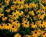 Black-eyed Susan or Yellow Coneflowers