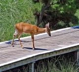 Deer undecided