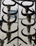 Long Horns