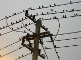 birds on the wires.jpg