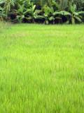 rice and banana trees.jpg