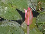 dragon fly and budding lotus.jpg