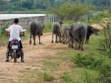buffalo herding.jpg