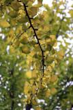 gingko green yellow.jpg