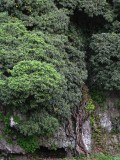 song ak tree.jpg
