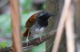 White-bellied Antbird  0616-1j  Filo de Tallo, Darien
