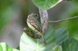 Yellow-bellied Elania  0616-1j  Anton