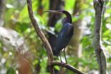 Agami Heron  0616-1j  Pipeline Road
