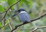 Ringed Kingfisher  0616-1j  Anton