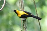Yellow-backed Oriole  0616-1j  Parque Metropolitano