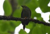 Lance-tailed Manakin  0616-1j  Gamboa