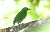 Green Shrike-Vireo  0616-1j  Canopy Tower
