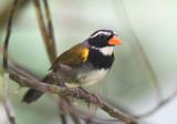 Orange-billed Sparrow  0616-1j  Anton