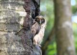 Spectaled Owl Chick  0616-1j  Anton