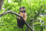 Spectaled Owl  0616-3j  Anton