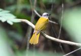 Gray-headed Tanager  0616-1j  Gamboa
