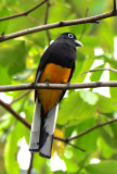 White-tailed Trogon  0616-3j  Canopy Camp