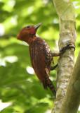 Cinnamon Woodpecker  0616-1j  Gamboa