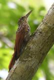 Cocoa Woodcreeper  0616-3j  Gamboa