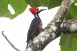 Crimson-crested Woodpecker  0616-3j  El Salto, Darien