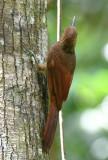 Northern Barred-Woodcreeper  0616-1j  Gamboa