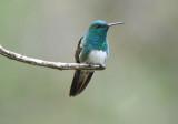 Snowy-bellied Hummingbird  0616-2j  Anton