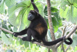 Mantled Howler Monkey  0616-7j  Canopy Tower