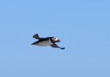 Atlantic Puffin  0717-3j  Witless Bay, NL