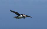 Atlantic Puffin  0717-13j  Machias Seal Island, NB