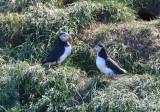 Atlantic Puffins  0717-19j  Witless Bay, NL