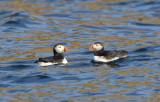 Atlantic Puffins  0717-22j  Witless Bay, NL
