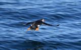 Atlantic Puffin  0717-21j  Bird Islands, NS