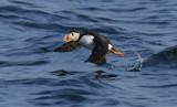 Atlantic Puffin  0717-24j  Witless Bay, NL