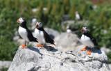 Atlantic Puffins  0717-16j  Machias Seal Island, NB