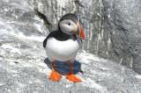 Atlantic Puffin  0717-11j  Machias Seal Island, NB