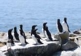 Razorbills 0717-1j Machias Seal Island,NB