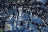Common Murres  0717-5j  Bird Islands, NS