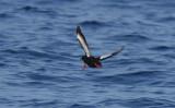 Black Guillemot  0717-4j  Bird Islands, NS