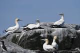 Northern Gannets  0717-1j  Machias Seal Island, NB