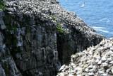 Northern Gannets, Black-legged Kittiwakes  0717-14j  Cape St. Mary, NL