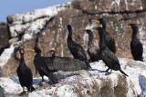 Double-crested Cormorants  0717-2j  Bird Islands, NS