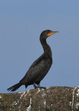 Double-crested Cormorant  0717-3j  Bird Islands, NS