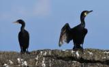Great Cormorant  0717-5j  Bird Islands, NS