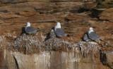 Black-legged Kittiwakes  0717-6j  Bird Islands, NS