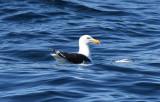 Greater Black-backed Gull  0717-1j  Witless Bay, NL