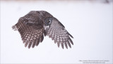 Great Grey Owl Hunting for Natural Prey