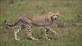 Cheetah Cub in Africa