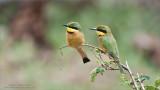 Little bee-eater Family
