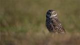 Burrowing Owl - Florida